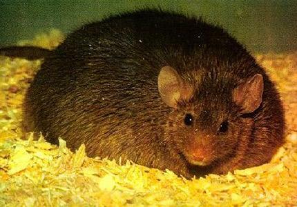Ratón Engordado con Insulina